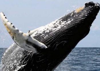 Stellwagen, donde pasean las ballenas 1