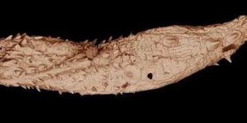 Reconstruyen fósil de gusano antiguo 9