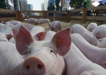 Bélgica sacrificará a 4 mil cerdos por peste porcina africana 1