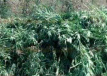 Incineran más de 975 mil plantas de marihuana en Jalisco 4