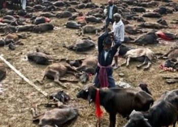 Nepal: extraño festival inicia con sacrificio de miles de animales 1