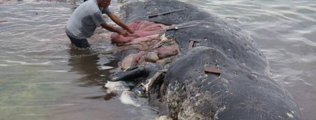 Ballena muerta tenía 6 kilos de desperdicios de plástico en el estómago