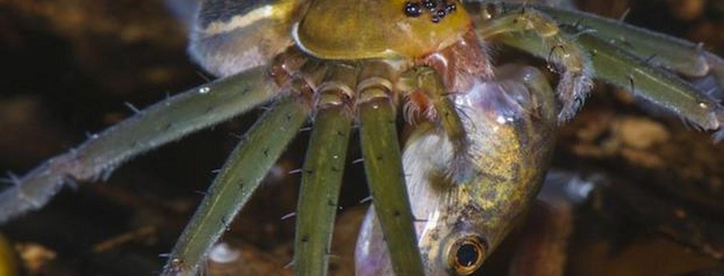 Raras arañas amazónicas comen ranas y lagartos