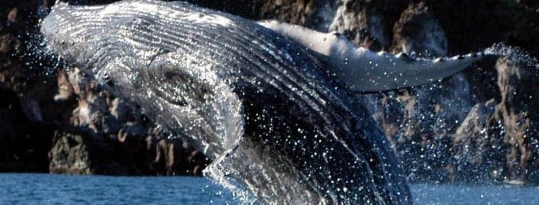 Ecoturismo poco regulado afecta a ballenas en mares mexicanos