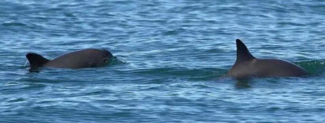 Vaquita marina, entre necesidad de pescadores y omisión de gobierno