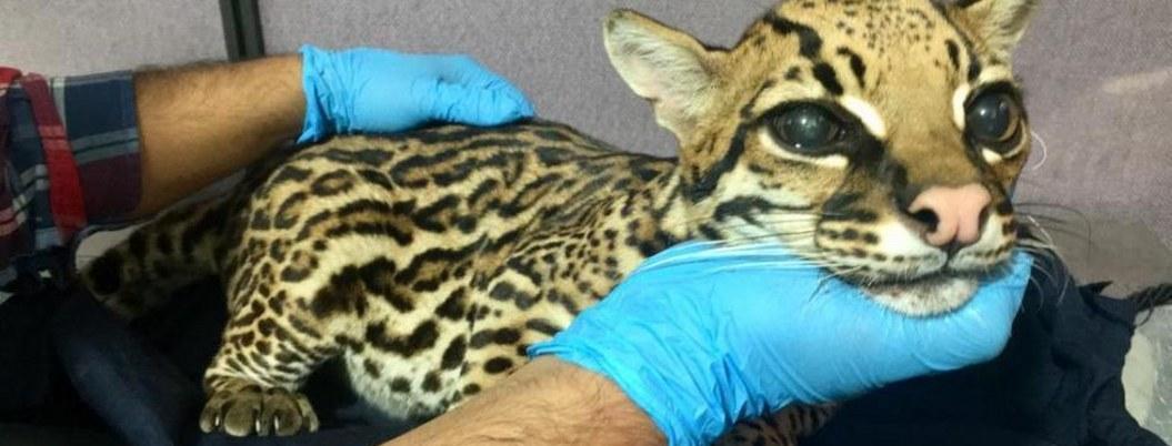 """Le quitan colmillos al leopardo para """"domesticarlo"""""""