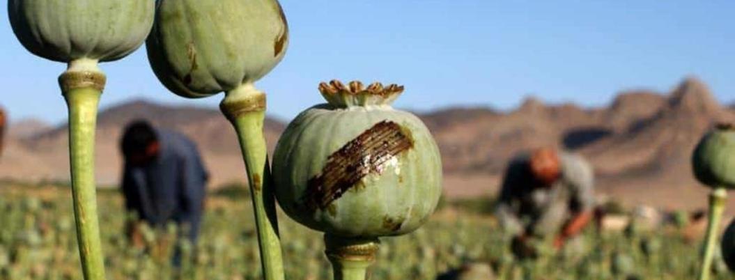 Guerrero se debate entre el fertilizante, la amapola y droga sintética