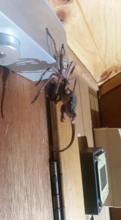 Araña devora zarigüeya 1