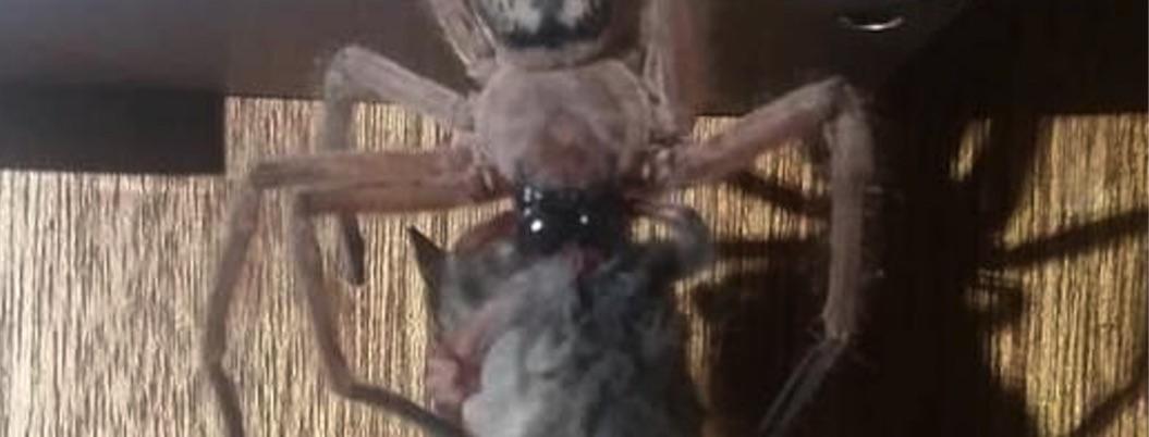 Captan a araña devorando a una zarigüeya en Australia