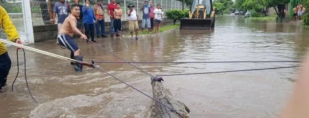 Cocodrilo deambula muy quitado de la pena por San Juan del Río