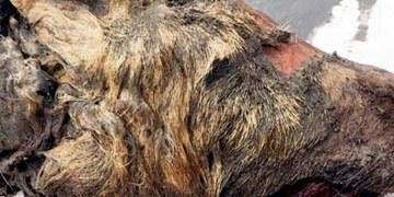 cabeza de lobo gigante