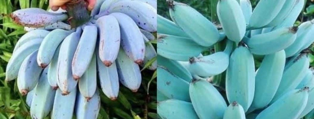 Especie rara de plátanos son azules y saben a helado de vanilla