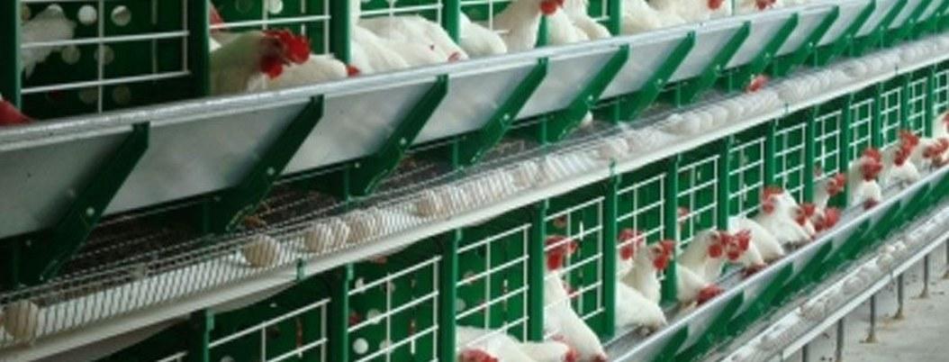 Alemania legaliza sacrificio de pollos machos por razones económicas