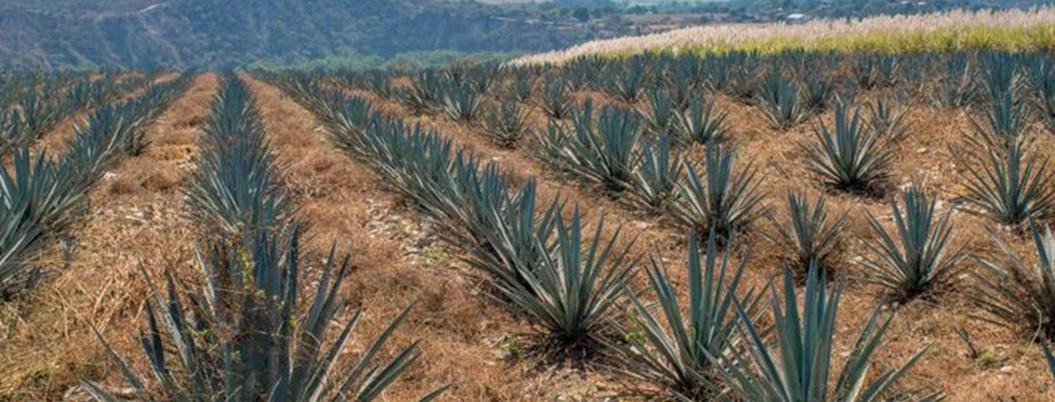 Productores de agave meten marca entre 50 bebidas innovadoras en EU