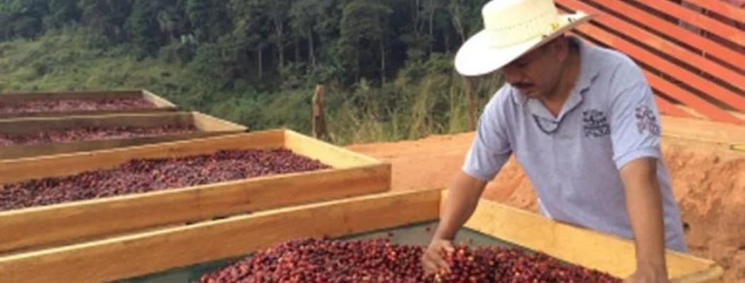 Sader entregará estímulos a productores de café, caña, maíz y frijol