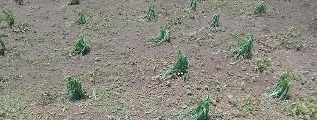 Granizada echó a perder cultivos de maíz y frijol en El Fresno