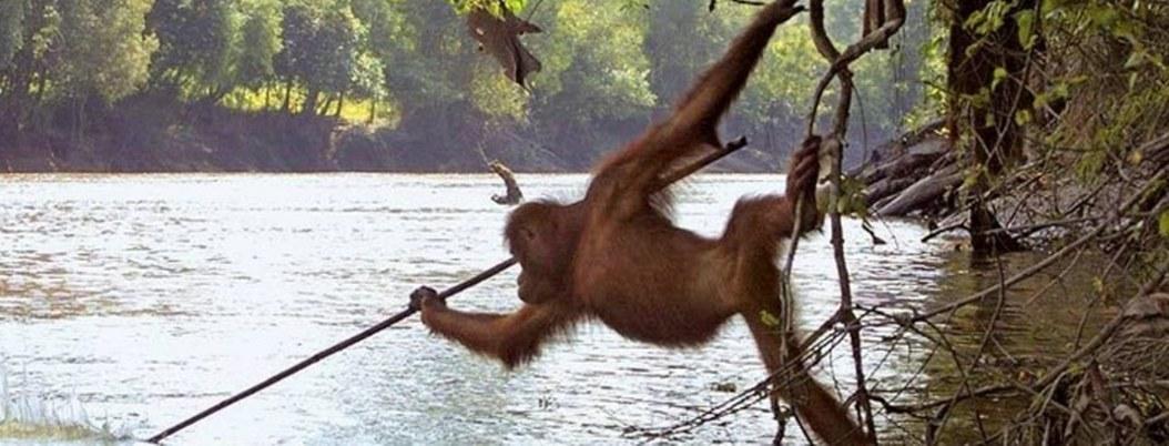Captan a orangután que sabe pescar con lanza; mira cómo lo hace
