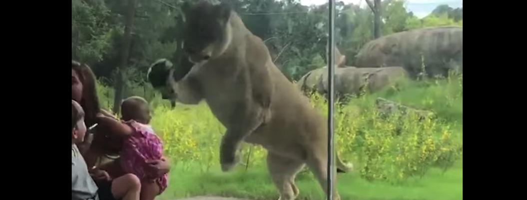 Cristal de zoológico salva a bebé de ser devorado por leona