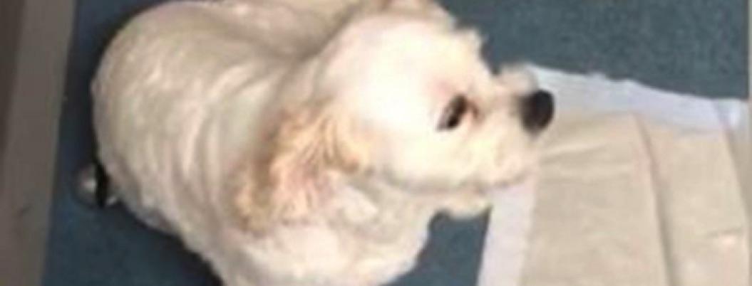 Perrito 'pacheco' casi muere por comer mariguana en un parque