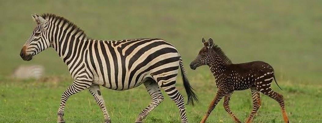 Hallan en África una cebra con puntos en lugar de rayas