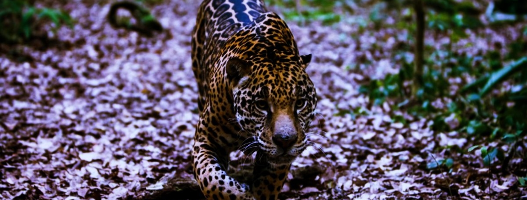 Noviembre, mes del jaguar y hay que protegerlo