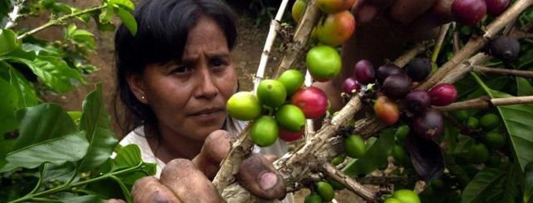 México busca mejorar precios del café con la iniciativa Mesocafé 3