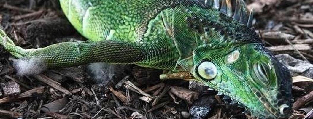 """""""Llueven iguanas"""" congeladas debido al extremo frío en Florida"""