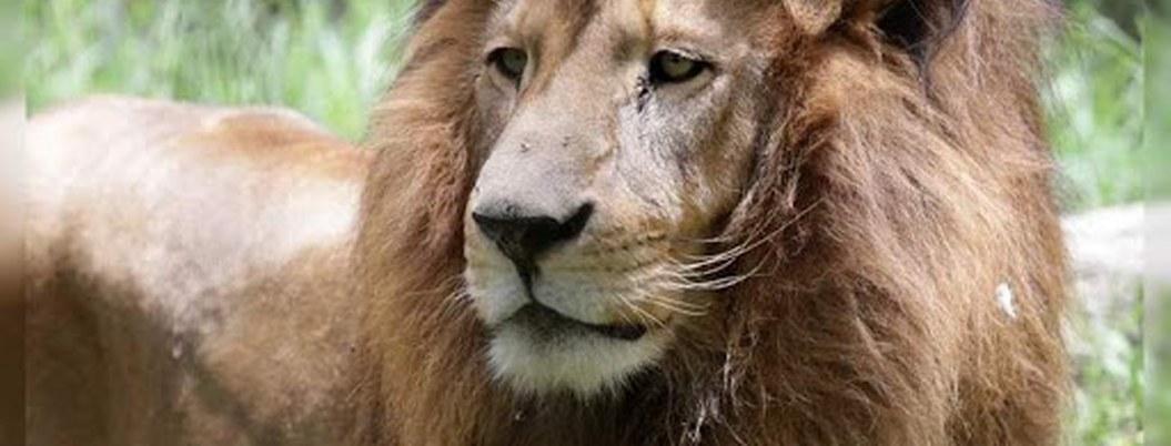 Siguen buscando a león suelto en Valle Bravo