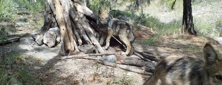 El lobo mexicano en peligro de extinción, ya tiene nuevas crías 1