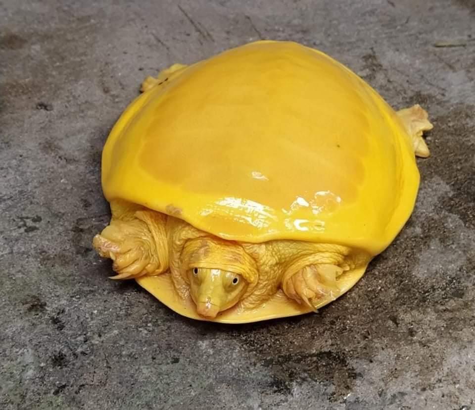 ¡Otra vez! hallan extraña tortuga amarilla brillante en India 1