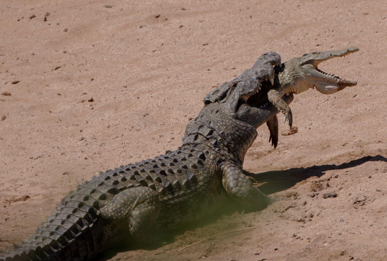 ¡Canibalismo! Cocodrilo de 4 metros devora a un macho más joven   FOTO 2