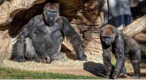 Vacunan contra Covid a simios de un zoológico en Estados Unidos 1