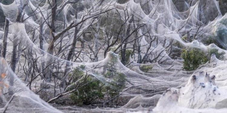Tras lluvias, manto de telarañas cubre tierras de Australia 1