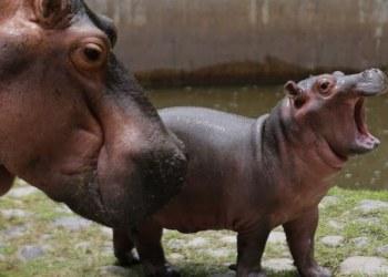 ¡Hola Tami! hipopótamo bebé enamora en zoológico de Guadalajara 2