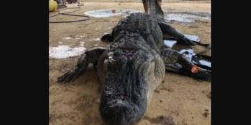 ¡No lo vas a creer! Mira el tesoro que tenía en su estómago este cocodrilo de 4 metros de largo 10