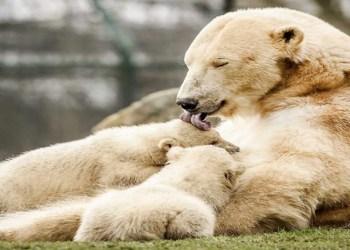 crias de oso polar en holanda