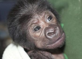Nace un gorila en reino unido
