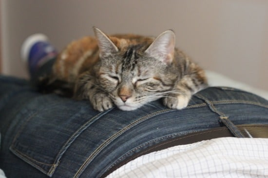 A grey and black tabby cat sitting on a man's jeans