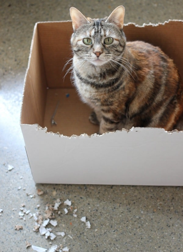 My calico cat, Shadow, sitting in a cardboard box that she chewed up