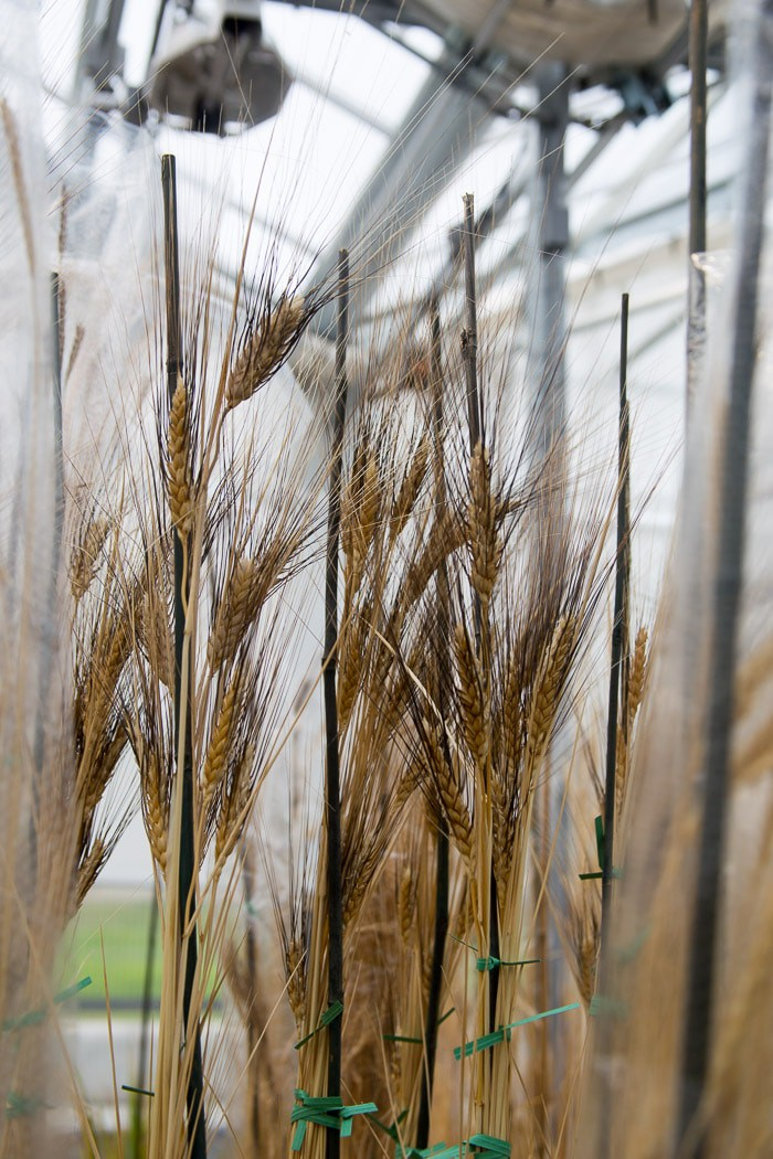 Ancient varieties of wheat