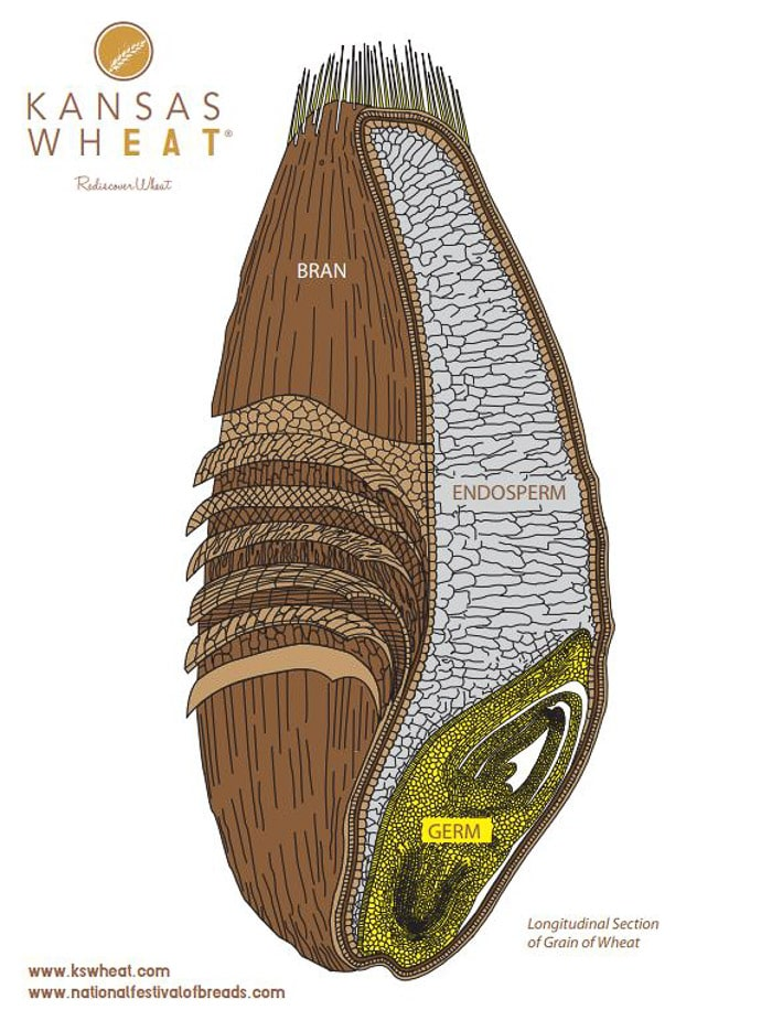 A graphic showing the different parts of the wheat grain
