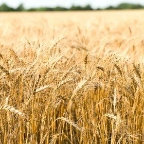 Wheat stalks in Kansas