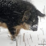 Digging in the snow is a way to pass the time, plus one might find something good to eat!