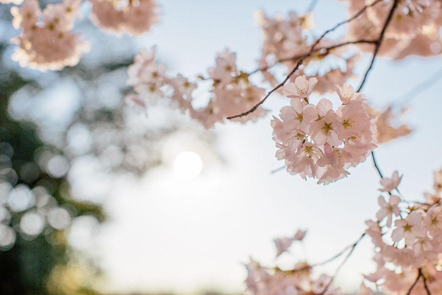 cherrblossom12 Cherry Blossoms: A Movie Baker Stories Our Life Video Washington DC