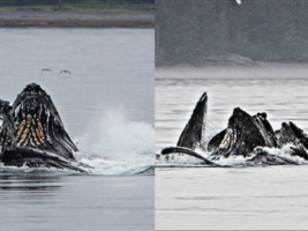 "Humpback whales ""bubble net feeding"" in Frederick Sound"