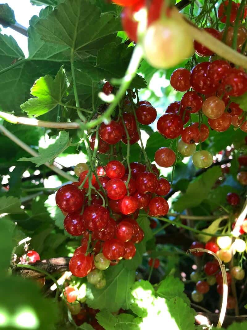 Redcurrant ripe and ready for picking