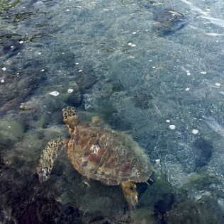 Sea turtles at Kahulu'u Beach Park