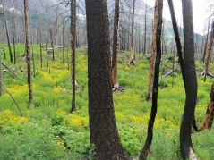 Trail to Baring Falls. New foliage springing up after a fire