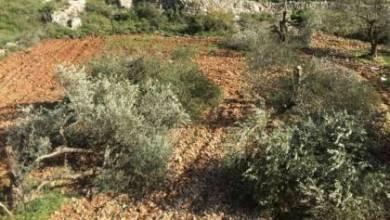 صورة مستوطنون يقتلعون أكثر من 100 شتلة زيتون جنوب الخليل
