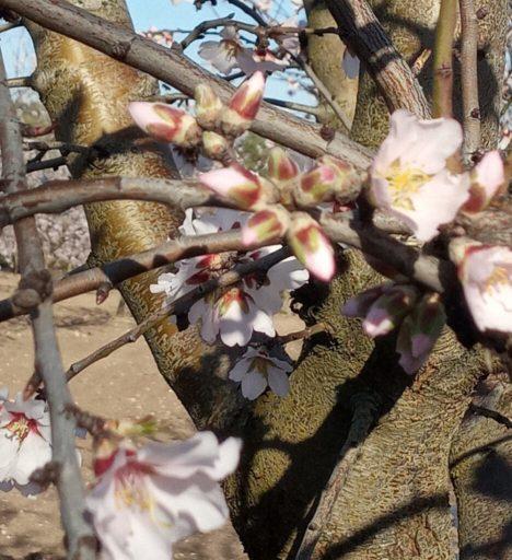 floracion belona